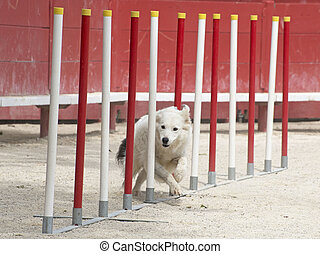 border collie in agility - purebred border collie in a...