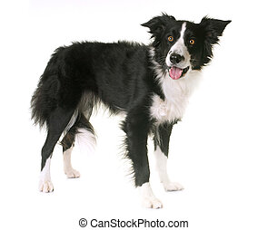 border collie in studio - border collie in front of white...