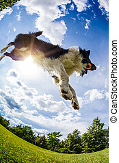 Border Collie jumping for the ball