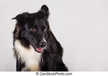 border collie looking aside