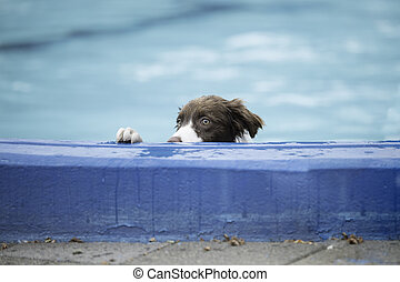 Border Collie looking over edge of swimming pool