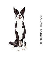Border Collie Mix Breed Dog Sitting - An attentive Border...