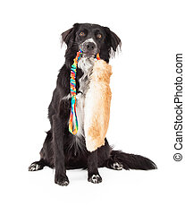 Border Collie Mix Breed Dog With Toy In Mouth - A Border...
