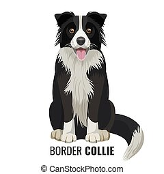 Border Collie pet isolated on white vector illustration -...