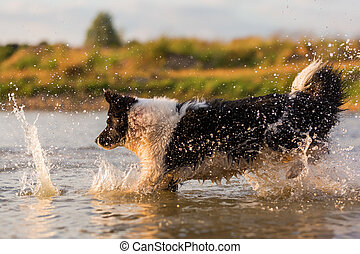 border collie plays in a lake