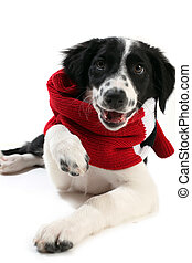 Border collie pup wearing a scarf
