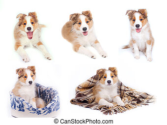 border collie puppies isolated