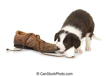5 weeks old border collie puppy caught while chewing on a shoe