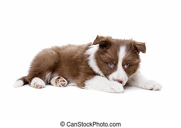 Border Collie puppy dog in front of a white background
