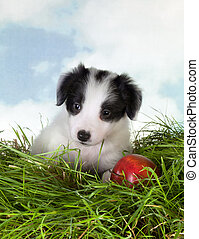 Border collie puppy in grass - Adorable 5 week old border...