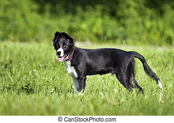Border collie puppy standing on grass close up