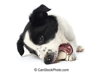 Border collie puppy with a bone