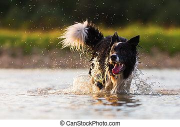 border collie runs in a lake