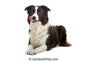 border collie sheepdog - black and white border collie...