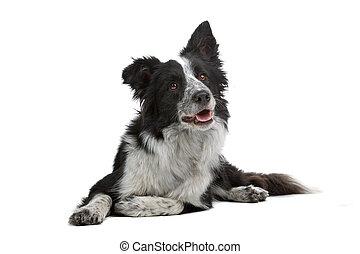border collie sheepdog - black and white border collie ...