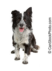 border collie sheepdog - border collie dog isolated on a...