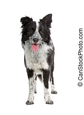 border collie sheepdog - border collie dog isolated on a ...