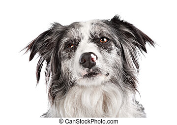 Border Collie sheepdog in front of a white background