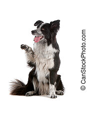 border collie sheepdog isolated on white