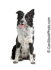 border collie sheepdog sitting and sticking out tongue