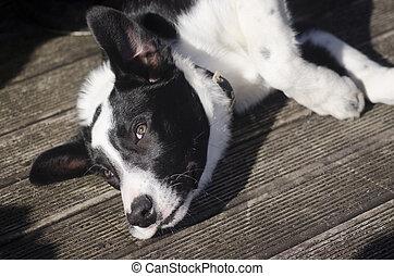 Border Collie Shepherd Dog
