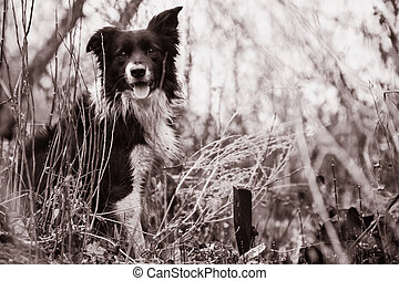 Border Collie Shepherd Dog Sitting In The Forest