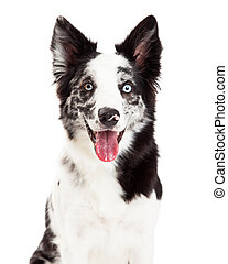 Border Collie Smiling