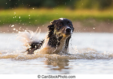 border collie swims in a lake