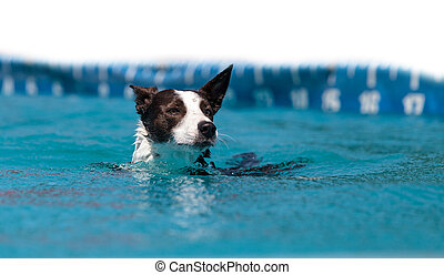 Border collie swims with a toy in a pool in summer.