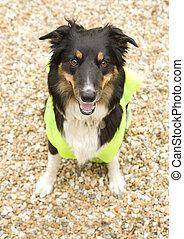 Border Collie wearing hi vis Jacket on beach