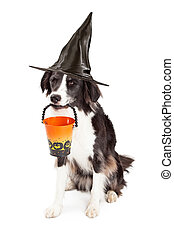 Border Collie Witch Halloween Dog - A cute young Border...