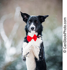 Border collie with a bow tie