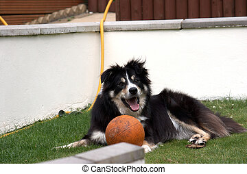 Border Collie with his ball