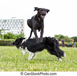 Border Collie with jumping black dog.
