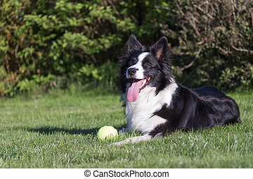 Border collie with yellow ball on the lawn