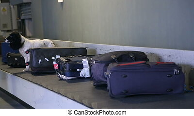 Border dog on a conveyor belt at the airport. Border dog...