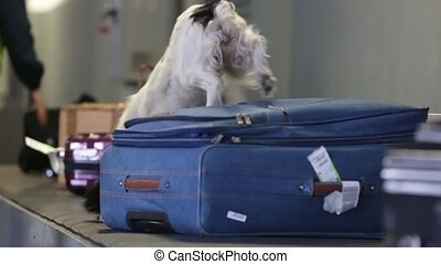 Border dog searches for drugs in baggage. Drug detector dogs are used at airport to detect drugs hidden in luggage. A trained dog sniffs suitcases to detect illegal substances, drugs and explosives.