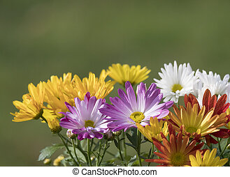 Border of close up colorful fall mums Chrysanthemums or chrysanths flowers on a green bokeh background, selective focus, copy space