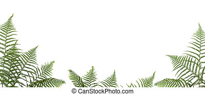 border of ferns ,isolated on white background, please have a...