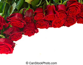 border of fresh crimson red blooming roses isolated on white