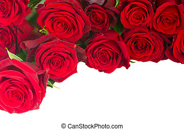 border of fresh crimson red blooming roses isolated on white background