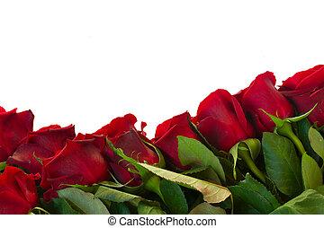 border of fresh crimson red garden roses isolated on white background