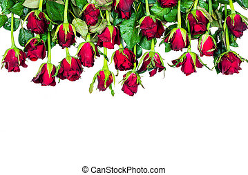 border of fresh red roses isolated on white background