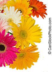 border of gerbera flowers