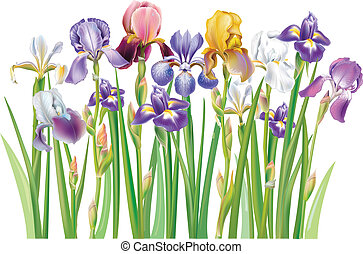 Border of multicolor Iris flowers