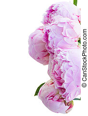 border of pink peonies