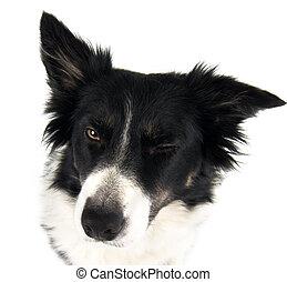 bordercollie dog blinking towards the camera isolated on white