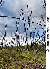 boreal, quemado, bosque