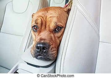 Bored bullmastiff dog in car - Close up head of brown...