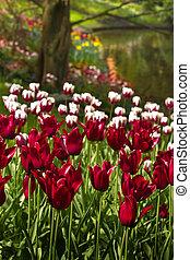 borgoña, rojo y blanco, tulipanes, en, primavera